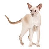 Pretty siamese cat Royalty Free Stock Image