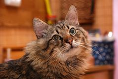 Pretty siberian cat with surprised eyes stock images
