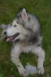 Pretty Siberian Husky Dog with Ice stock photography