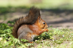 Pretty side view of red squirrel Royalty Free Stock Photography
