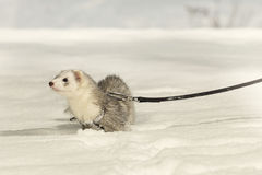 Pretty silver ferret on leash posing and enjoying winter time in park Royalty Free Stock Image
