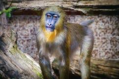 Pretty Single Monkey Royalty Free Stock Photo
