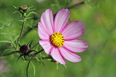 Pretty single summer cosmos rose Stock Photos