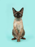 Pretty sitting seal point devon rex cat with blue eyes on a mint blue background Stock Photos