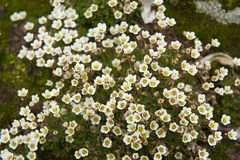 Pretty small flowers blooming in Norway. Some of the pretty small flowers that are beautifully blooming in Norway Stock Photography