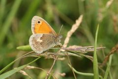 A stunning Small Heath Butterfly, Coenonympha pamphilus, perching on grass seeds in a meadow. A pretty Small Heath Butterfly, Coenonympha pamphilus, perching on stock images