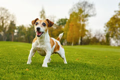 Pretty small Jack Russell terrier stock photo