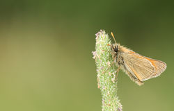 A pretty Small Skipper Butterfly Thymelicus sylvestris perched on a grass seed head. royalty free stock image