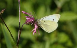A pretty Small White Butterfly Pieris rapae nectaring on a ragged robin flower. Royalty Free Stock Photos
