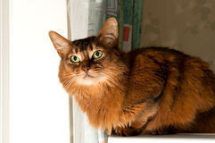 Pretty somali cat. Pretty purebred somali cat sits on refrigerator with angry look Stock Photo