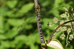 A pretty Southern Hawker Dragonfly Aeshna cyanea perched on a plant. Royalty Free Stock Images