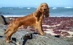 Pretty Spaniel. Cocker Spaniel posing on rocks at the beach looking at the photographer Stock Photo