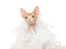 Pretty Sphynx wrapped in white feather boa Stock Image