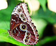 Pretty Spotted Butterfly. Pretty Butterfly Resting Lightly On a Leaf Stock Image