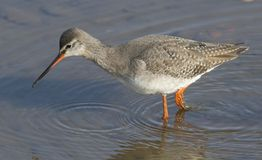 A stunning Spotted Redshank Tringa erythropus hunting for food in a sea estuary. A pretty Spotted Redshank Tringa erythropus hunting for food in a sea estuary Royalty Free Stock Photos