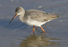 A stunning Spotted Redshank Tringa erythropus hunting for food in a sea estuary. A pretty Spotted Redshank Tringa erythropus hunting for food in a sea estuary Stock Image