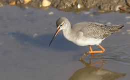 A stunning Spotted Redshank Tringa erythropus searching for food in a sea estuary. A pretty Spotted Redshank Tringa erythropus searching for food in a sea Royalty Free Stock Photography