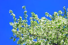 Pretty spring background. Apple blossom Royalty Free Stock Photos