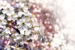 Pretty spring background. Cherry blossom in full bloom. Stock Image