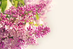 Pretty spring background. lilac flowers and empty space for your Stock Images