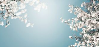 Free Pretty Spring Blossom Nature Background With White Blooming Of Tree At Blue Sky With Sunshine, Banner Stock Photography - 141457932