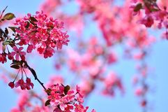 Pretty spring flowers on crab apple branches. Copy space. Closeup of blooming in pink crab apple branch. Abstract floral background Royalty Free Stock Photos