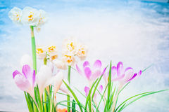 Pretty spring flowers: daffodils and crocuses . Stock Photography