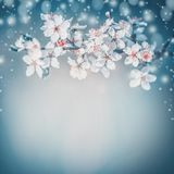 Pretty Springtime blossom. White cherry spring bloom , flowers at turquoise blur nature. Background. Blossoming of flowers, close up royalty free stock photography