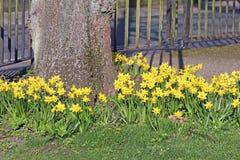 Pretty springtime daffodils around tree Stock Photography
