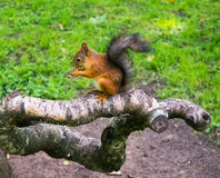 Pretty squirrel with nut in the forest Stock Photos