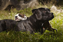 Pretty Staffordshire bull terrier dog with little friend Stock Images