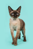 Pretty standing seal point devon rex cat with blue eyes on a mint blue background Stock Photos