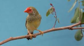 Pretty Star Finch from Australia. Beautiful star finch bird from Australia Stock Photos