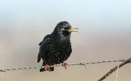 A stunning Starling Sturnus vulgaris perched on a barbed wire fence singing. A pretty Starling Sturnus vulgaris perched on a barbed wire fence singing Stock Photos