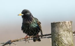 A stunning Starling Sturnus vulgaris perched on a barbed wire fence. A pretty Starling Sturnus vulgaris perched on a barbed wire fence Royalty Free Stock Photos