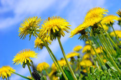 Pretty summer field. Dandelion against sunny blue sky Royalty Free Stock Images