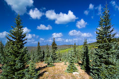 Pretty Summer in the New Mexico Pine Forest Stock Photos