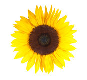 Pretty sun flower stock photography
