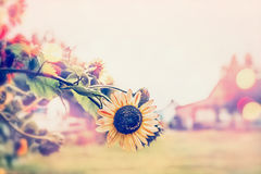 Pretty sunflowers at sunny day in country village background Royalty Free Stock Image