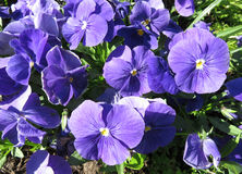 Pretty Sunlit Violets Royalty Free Stock Photos