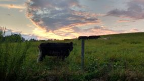 Pretty sunset and cows stock photos