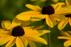 Pretty Susan. Black Eyed Susans in a field Royalty Free Stock Images