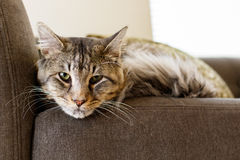 Pretty tabby cat. Close up view of a male domestic tabby cat in a home setting Royalty Free Stock Images