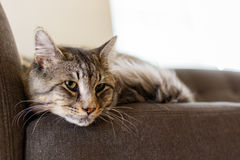 Pretty tabby cat. Close up view of a male domestic tabby cat in a home setting Stock Images