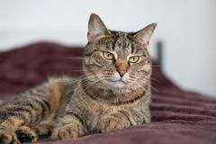 Tabby cat lying on the bed and looking at camera. Pretty tabby cat lying on the bed and looking at camera Royalty Free Stock Images