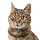 Pretty tabby cat portrait Royalty Free Stock Images