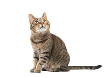 Pretty tabby cat sitting down and looking up Stock Image
