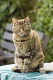 Pretty tabby cat Stock Photography