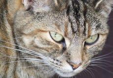 Pretty tabby cat Royalty Free Stock Photography