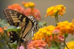 Swallowtail Feeding on Lantana Royalty Free Stock Photo